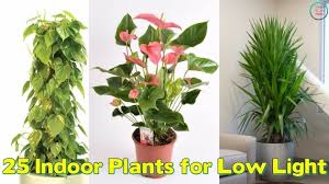 office plants no light. Most Inspiring 25 Indoor Plants For Low Light Youtube Office No P
