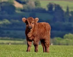 Znalezione obrazy dla zapytania calf