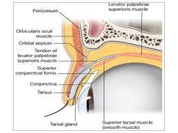 Eyelid Anatomy Eyelid Anatomy Rome Fontanacountryinn Com