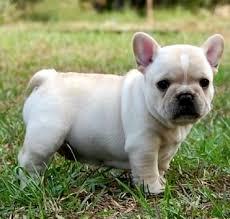 miniature blue french bulldog puppies for sale. Beautiful Blue ______ French Bulldog Puppies For Sale To Miniature Blue U