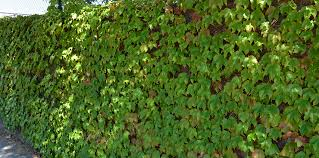 10 Fast Growing Flowering Vines  Best Wall Climbing Vines To PlantWall Climbing Plants Australia