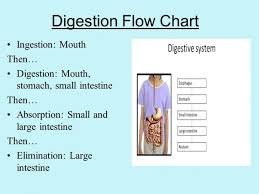 Disclosed Flow Chart Of Digestive Tract Flow Chart About
