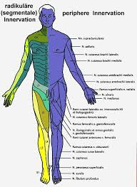 Innervation Chart Just In Case You Pinch A Nerve Doin Oh