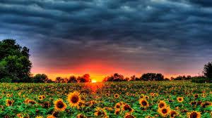 field of sunflowers by desktopnexus