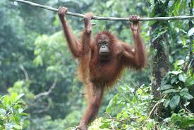real jungle animals monkeys. Simple Animals Breakfast With The Orangutans In Real Jungle Animals Monkeys N