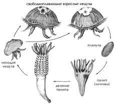 Класс Сцифоидные медузы Зоология Реферат доклад сообщение  Жизненный цикл сцифоидной медузы аурелии