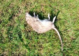 the latest rat discovered in shirley s garden
