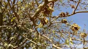 flower tree pictures. Delighful Flower Village Farm Mahua Flower Tree Plant Latest Video 2017 Throughout Pictures