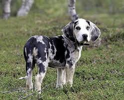 Small Picture A Dunker also known as the Norwegian Hound is a medium sized
