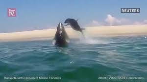 great white shark jumping for seal. Great White Shark Jumps To Catch Seal Throughout Jumping For