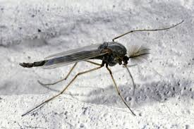 Small Black Flying Bugs In Bedroom Insects Commonly Mistaken For Mosquitoes