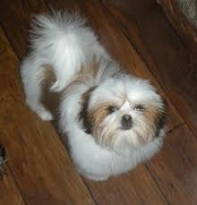 Best Black And White Shih Tzu Dog Pictures Pictures