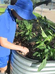 Kitchen Garden Foundation Stephanie Alexander Kitchen Garden Foundation