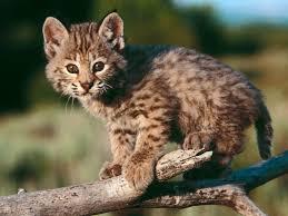wild baby animal wallpaper. Modren Baby HD Free Baby Bobcat Wallpaper Animals  Throughout Wild Animal I