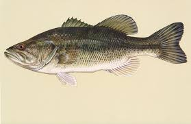 Mississippi Fish Species Ms Fish Finder