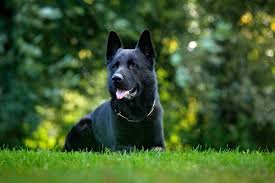 black german shepherd puppies with blue eyes. Perfect Shepherd It Belongs To The Same Breed But Is Referred As Black German Shepherd  Because Well Itu0027s Entirely Black Throughout Puppies With Blue Eyes A