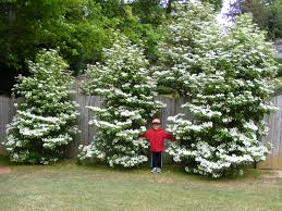 Arrowwood Viburnum - planted to grow together into a hedge