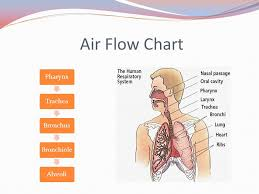 Respiratory System Flow Chart The Respiratory System Ppt Video Online Download