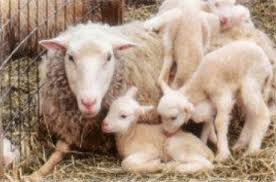 Image result for lambs photos