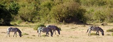 a zebra obsession   San Diego Zoo Animals