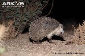 nocturnal desert animals. Exellent Desert Desert Hedgehog Nocturnal Activity Throughout Nocturnal Animals V