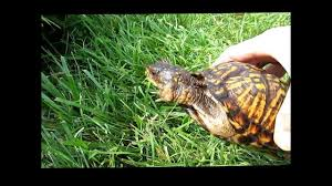 box turtle size determining gender and age of box turtles youtube