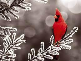 Winter Cardinal Desktop Wallpapers ...