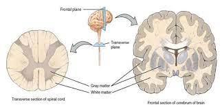 sustancia gris definición función