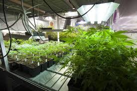 How To Keep Cannabis Mother Plants Alchimia Blog