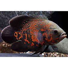 petsmart black goldfish. Perfect Petsmart Tiger Oscar Cichlid With Petsmart Black Goldfish H