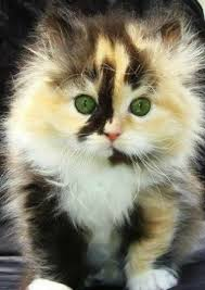 fluffy baby calico kittens. Beautiful Calico Super Fluffy Calico Kitten Is Sooooo Cute Kittens Are The Cutest My  Childhood Kitty Was A Calico Mewmew Throughout Fluffy Baby Calico F