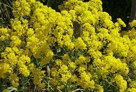 Isatis tinctoria Calflora