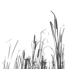 tall grass silhouette. Fine Tall Silhouette Of Reed Bush Vector  To Tall Grass