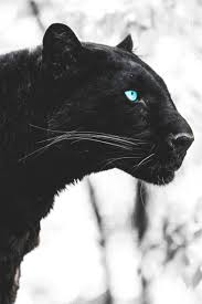 black cat with blue eyes tumblr. Contemporary Black Big Cat Black Panther To Black With Blue Eyes Tumblr B