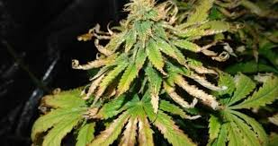 Nutrient Deficiencies In Marijuana Plants The Ultimate