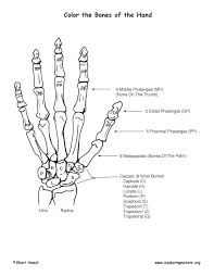 Small Picture Bones of the Hand Coloring Page
