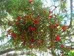 Images & Illustrations of dacrycarpus