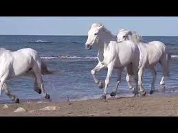 white horses running. Interesting White White Horses Running Good Luck Vastu On Horses Running N