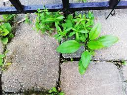 get rid of weeds between pavers this