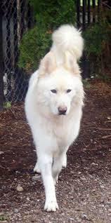 white german shepherd malamute mix. SamoyedGerman Shepherd Cross Breed For White German Malamute Mix
