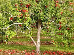 Time To Prune Fruit Treesbut Wait Until The Rain Stops  Napa Dormant Fruit Trees
