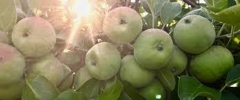 Apple Varieties Hartford Apple Trees Hartford Orchards Llc