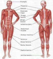 The human muscular system | Muscular System | Pinterest | Human ...