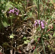 Fedia cornucopiae PFAF Plant Database