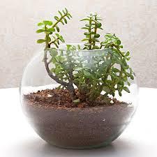 fantastic jade terrarium send gifts to hyderabad