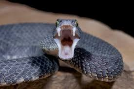 For more information, please contact: Viper Snake Facts And Beyond Biology Dictionary