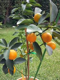 Merlin Wants This Indoor Kumquat Tree  Apartamento  Pinterest Kumquat Tree Not Bearing Fruit
