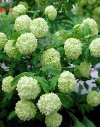 Image result for Viburnum roseum