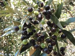 Guide To Trimming Olive Trees When Is The Best Time To Prune Wild Olive Tree Fruit