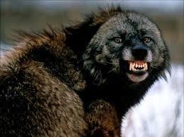 Resultado de imagen de lobo enfadado
